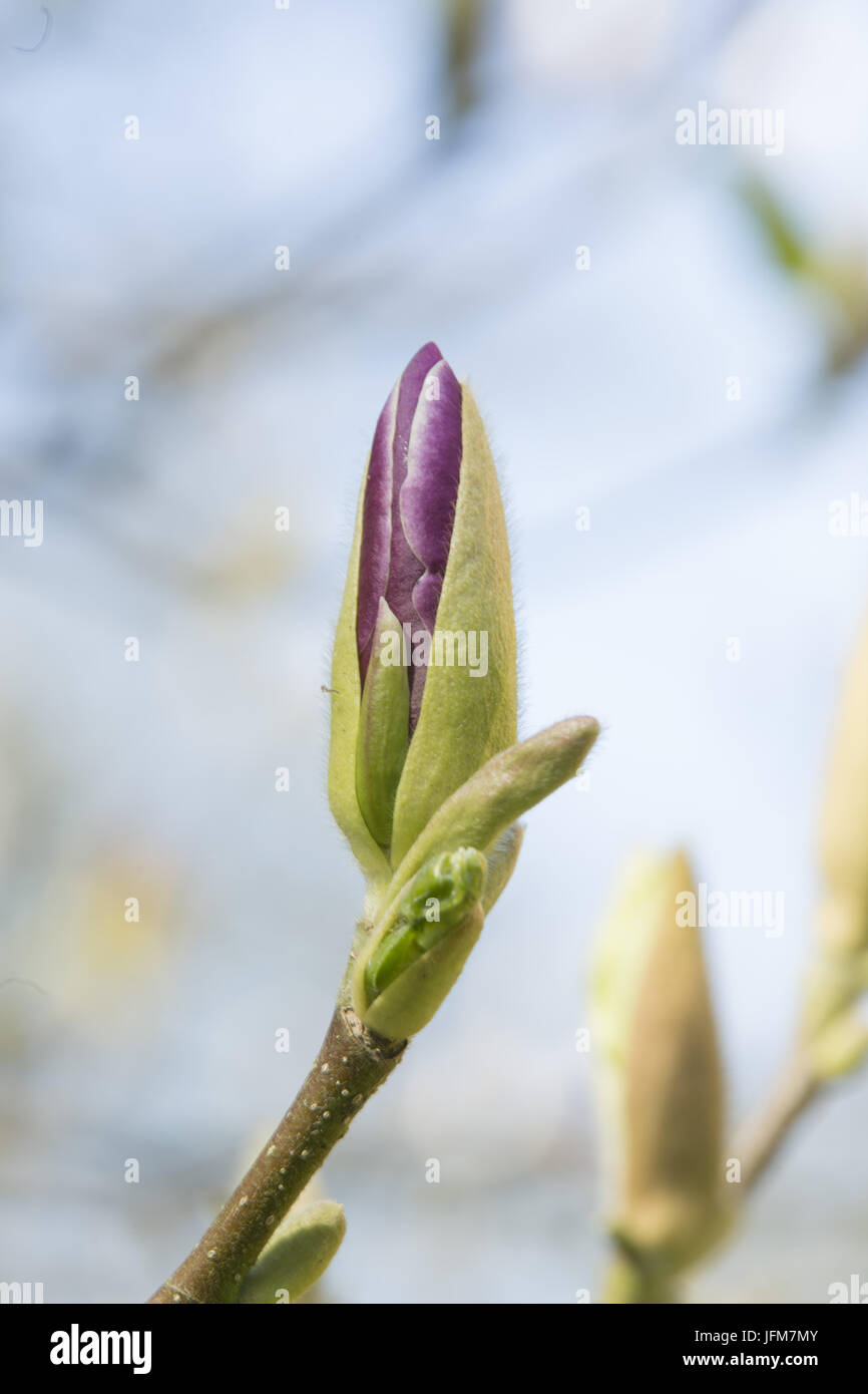 magnolia, Stock Photo