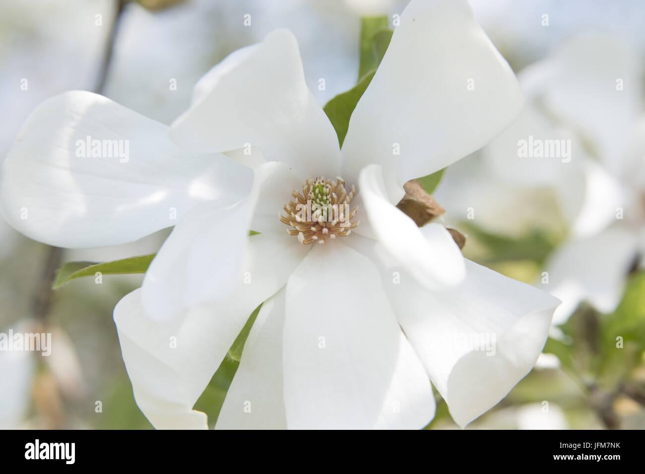 magnolia, (Magnolia stellata) Stock Photo
