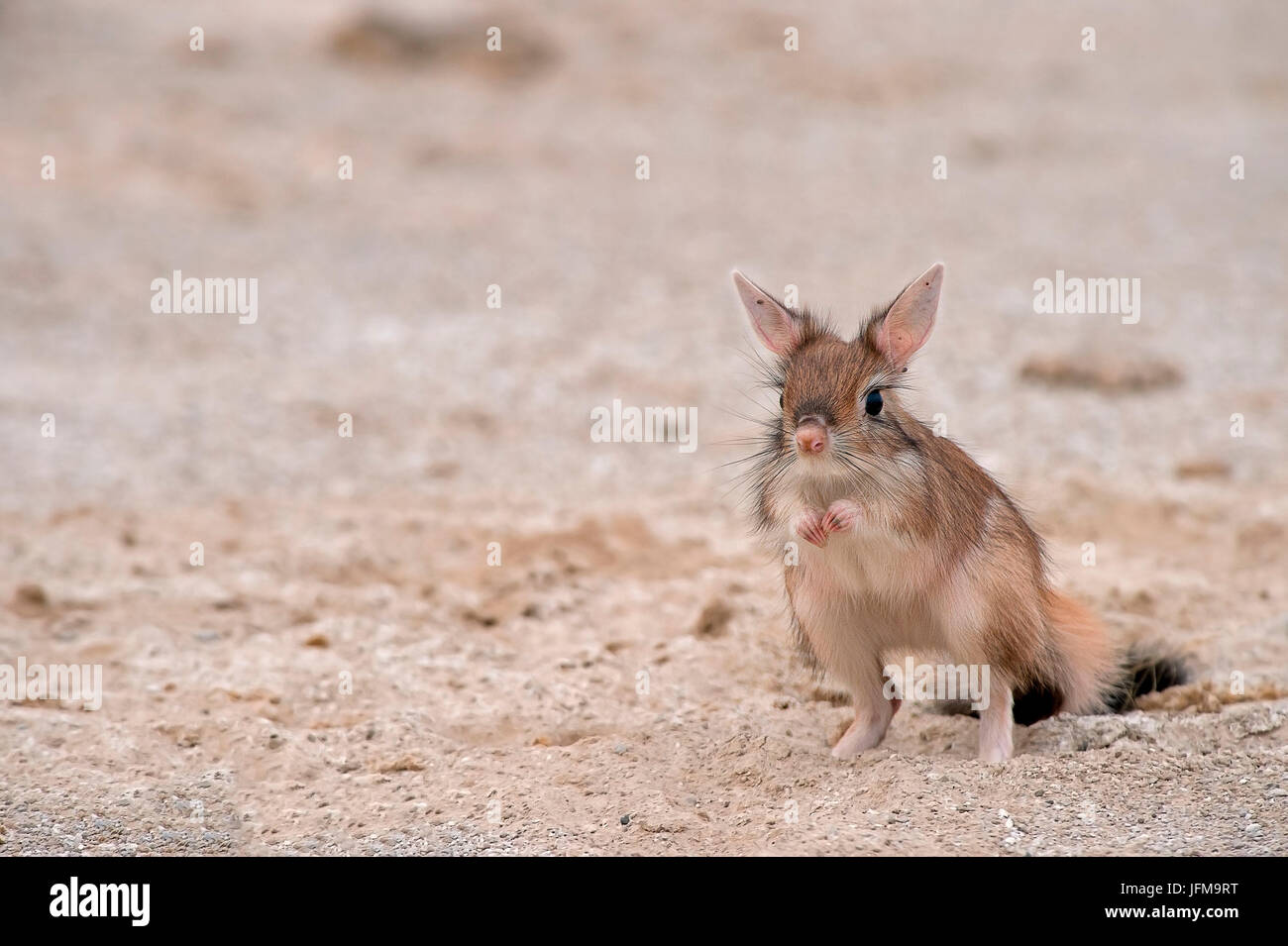 Amboseli Park, Kenya, Africa The Springhare or Cape hare jumper is a small mammal rodent that moves almost exclusively - Stock Image