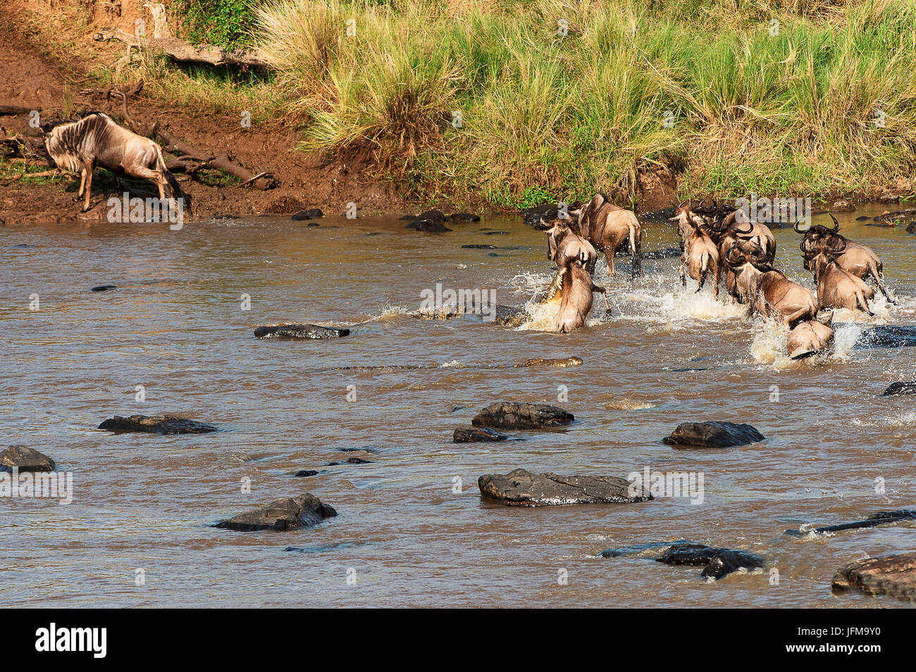 Masai Mara Park, Kenya, Africa A crocodile attacks a wildebeest while crossing a river in the Masai Mara - Stock Image