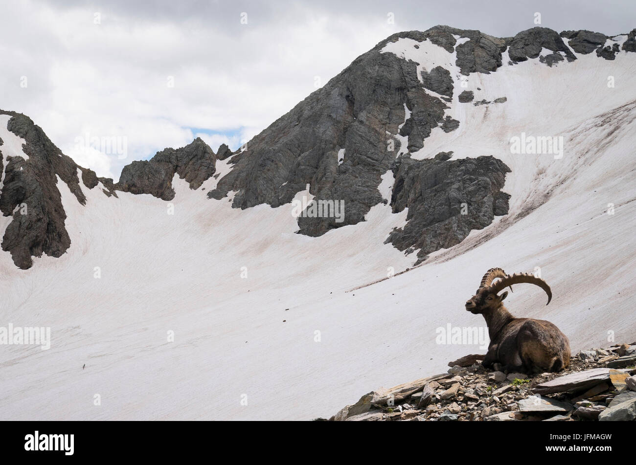 An old male steinbock, Lupo glacier, Orobie, Lombardy, Italy - Stock Image
