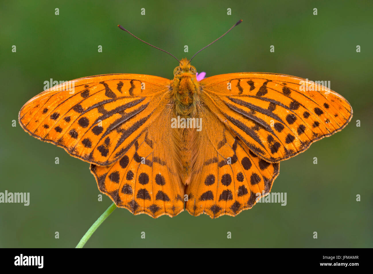 Argynnis paphia, Shaida Sattel, Austria - Stock Image