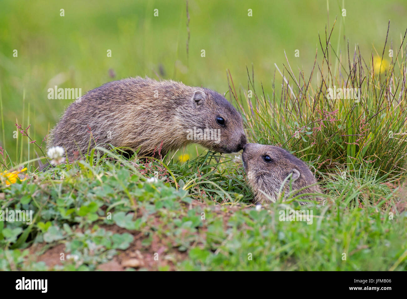Stelvio National Park, Lombardy, Italy, Marmots - Stock Image