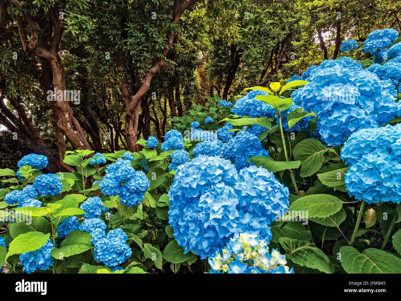 blooming, Hydrangea, rhododendron arboreum, Villa Carlotta, botanic garden, Tremezzina, Como Lake, Lombardy, Italy - Stock Image