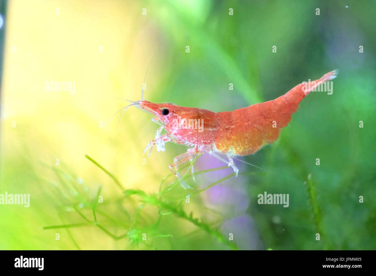 Cherry Shrimp Stock Photos & Cherry Shrimp Stock Images - Alamy