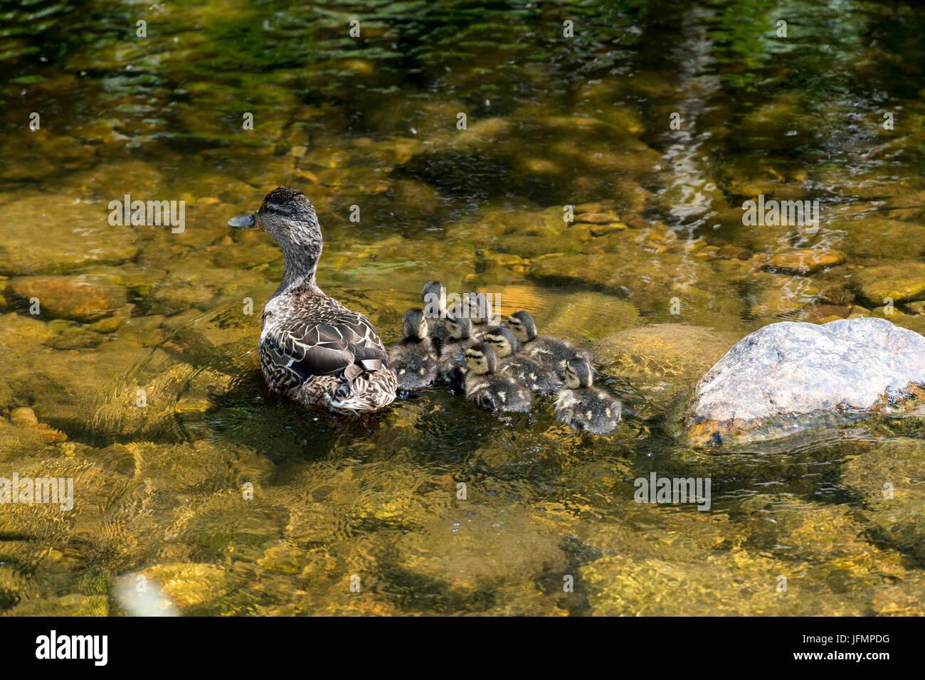 Female Mallard duck, Anas platyrhynchos, with brood of 8 ducklings swimming on upland stream, North Yorkshire, UK. - Stock Image