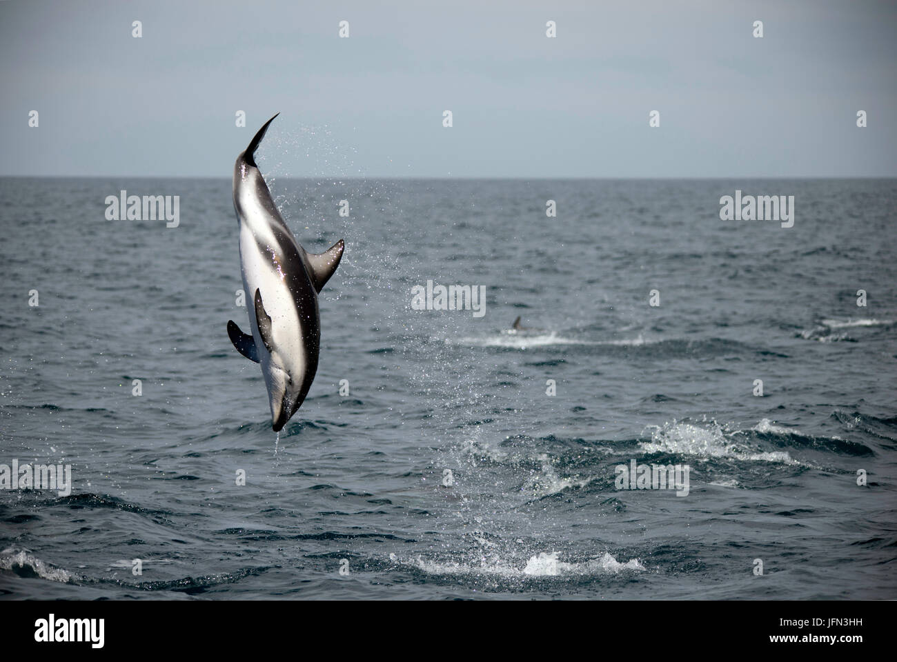 A dusky dolphin, Lagenorhyncus obscures, leaps high out of the water and performs a back flip, Kaikoura Peninsula, - Stock Image