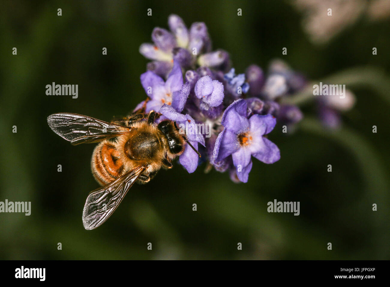 Close up Honey Bee collecting pollen from an open flower on a lavender bush, Shepperton, England, U.K. - Stock Image