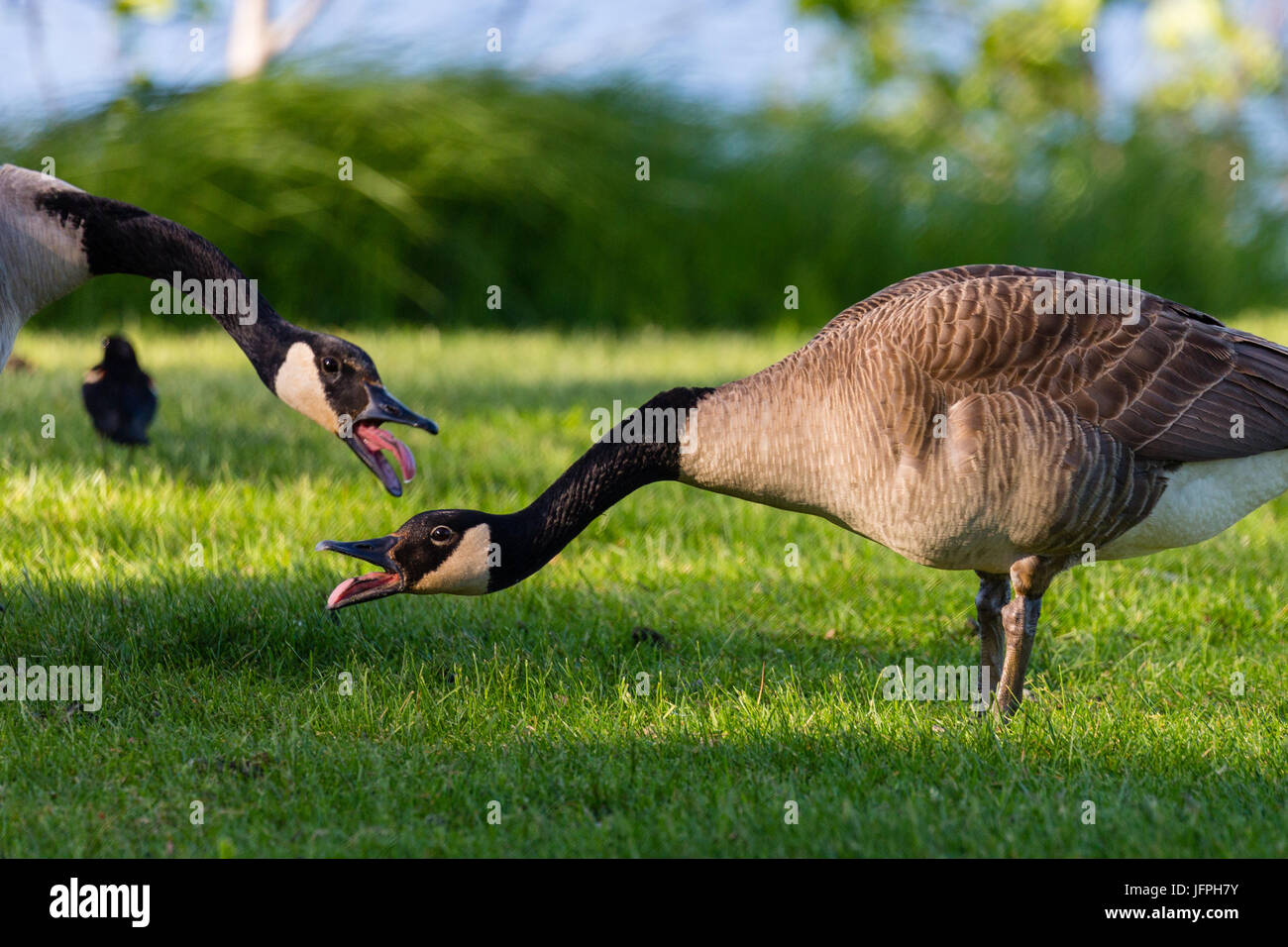 Pair of Canada geese with their tounges out in a Wisconsin field during the month of May - Stock Image