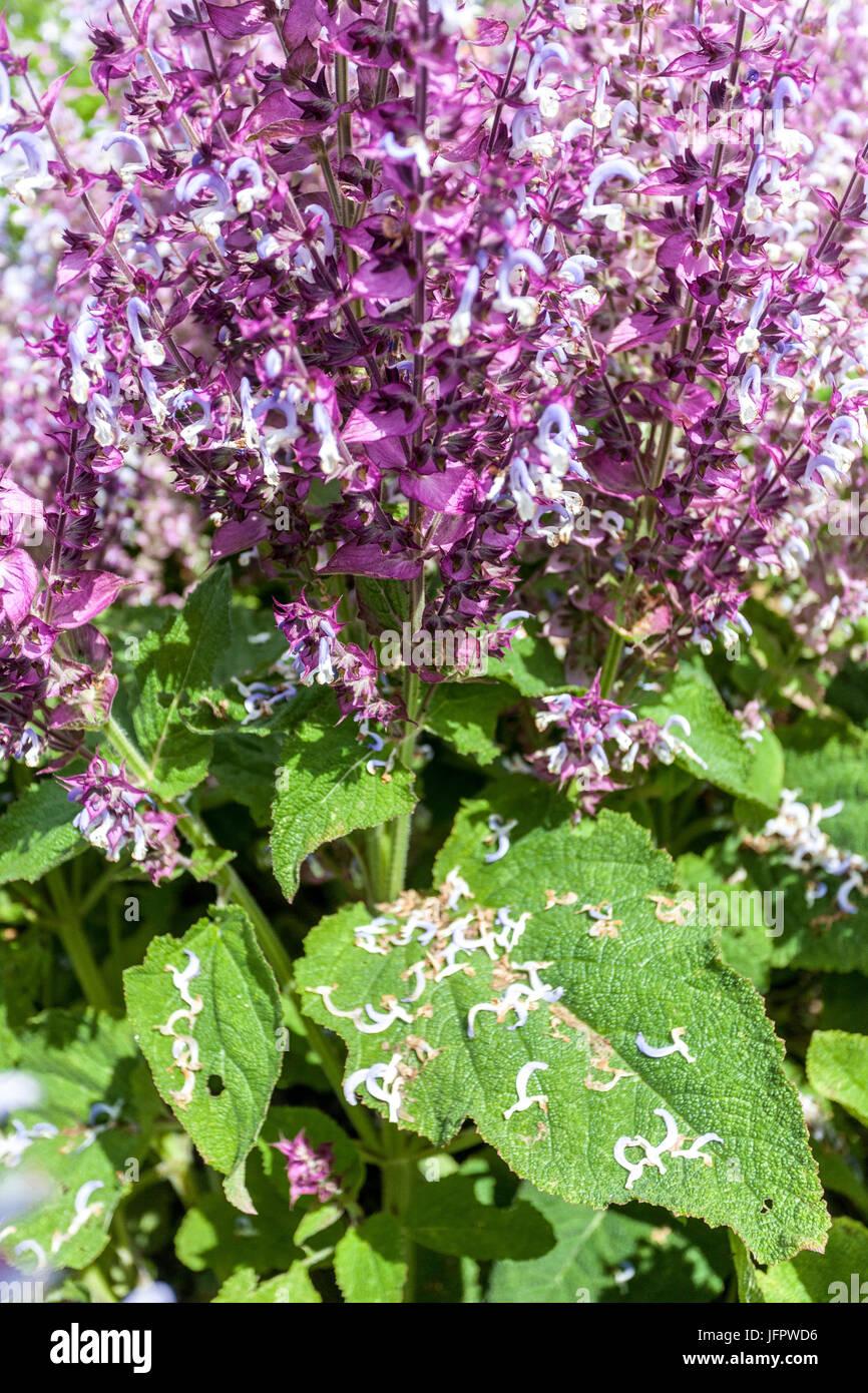Salvia sclarea 'Piemont', Clary Sage - Stock Image