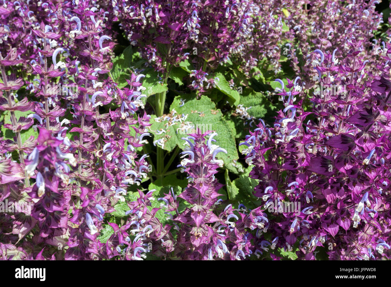 Salvia sclarea 'Piemont', Clary Sage, pink and purple garden - Stock Image