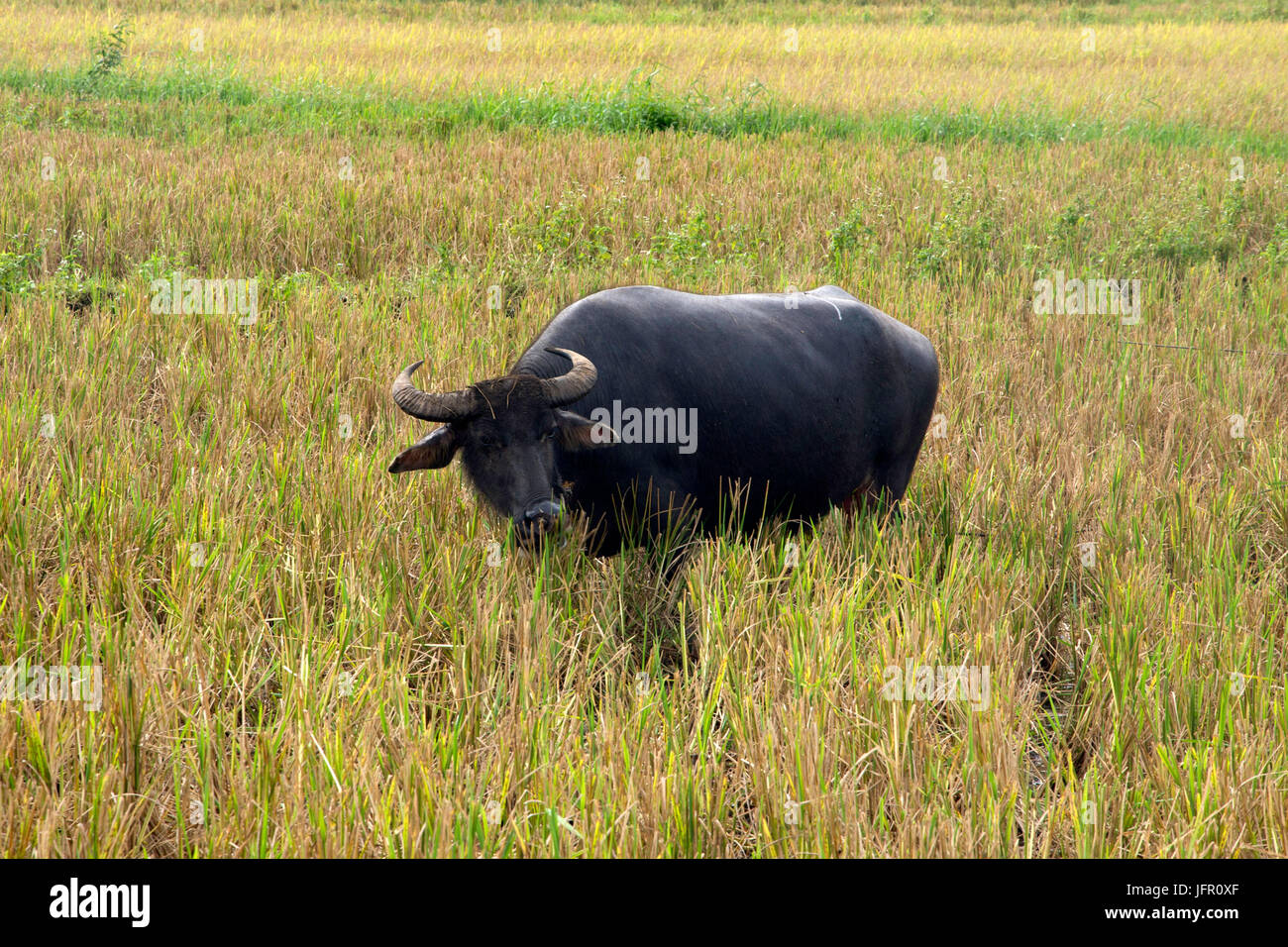 Philippine water buffalo, known as a carabao, Bubalus bubalis, in a rice paddy field, Bohol Island, Philippines - Stock Image