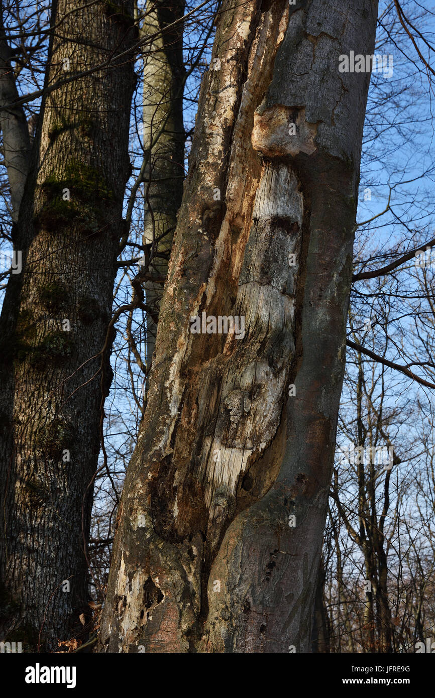 tree for woodpeckers; woodpecker tree - Stock Image