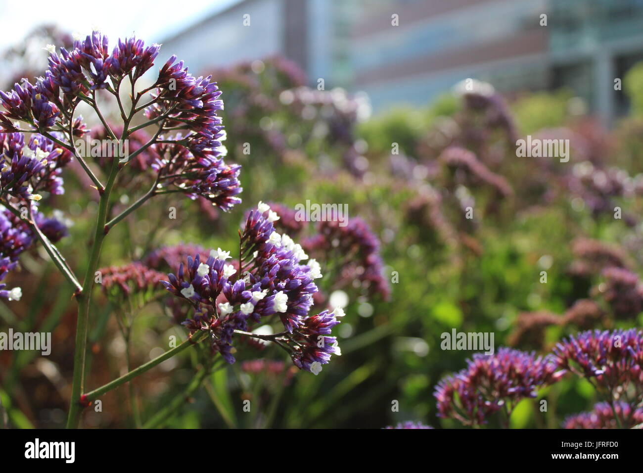 Statice flowers in full bloom in Mission Bay Commons Park - Stock Image