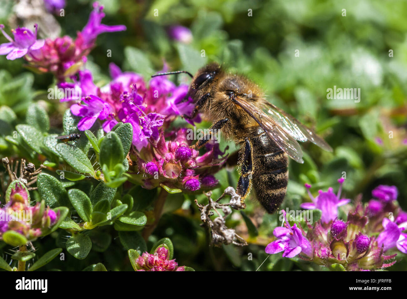 Bee on Thymus praecox - Stock Image