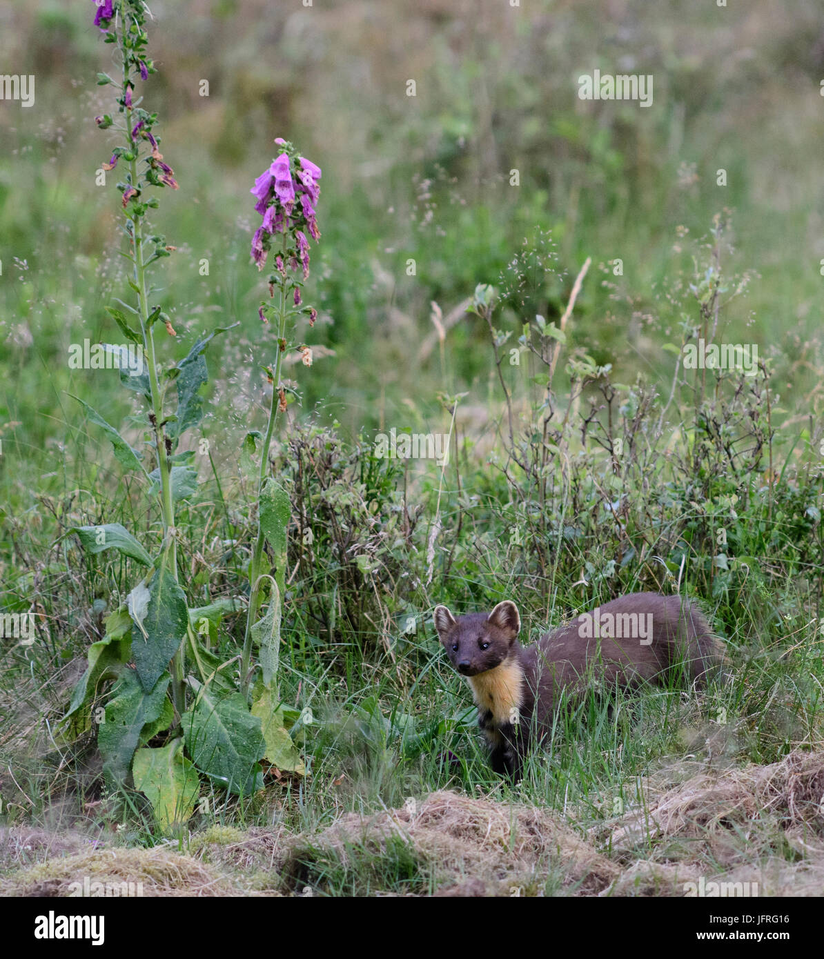 Pine marten in forest grass with a blooming foxglove flower during daylight. Veluwe, Netherlands. - Stock Image