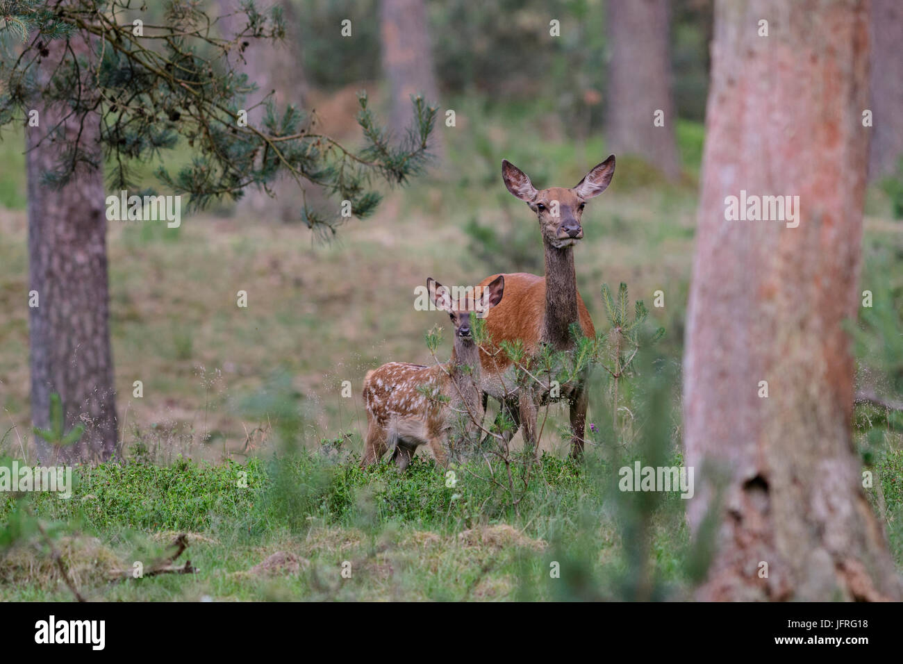 Red deer female mother with calf, which still has its camouflaged spotted fur. Hoge Veluwe National Park, Netherlands - Stock Image