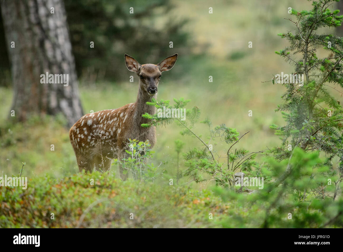 Red deer calf with spotted camouflage fur in a forest field. Hoge Veluwe National Park, Netherlands - Stock Image