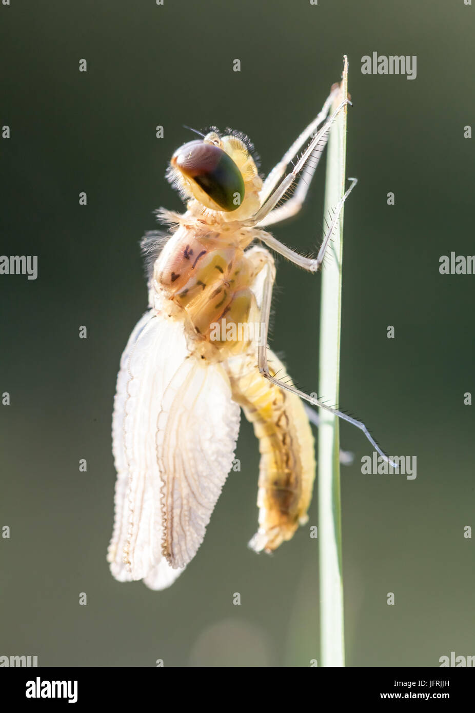 In the early morning you will see that firefly with water dew of the dew Stock Photo