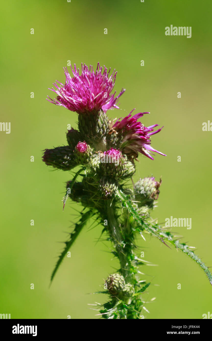 Flower head of the tall, spiky leaved marsh thistle, Cirsium palustre - Stock Image