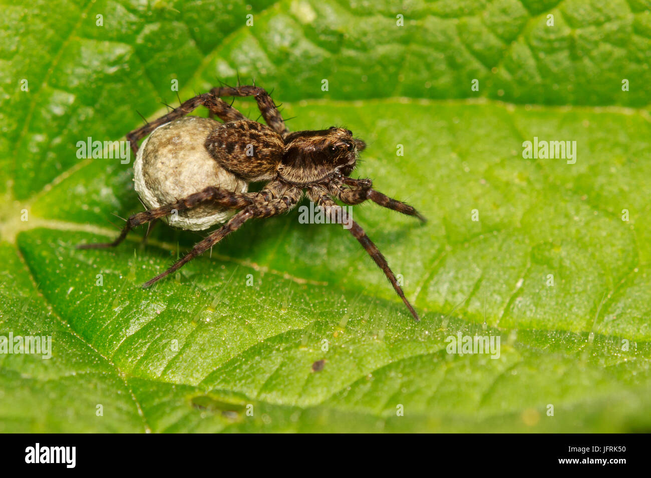 Female spotted wolf spider, Pardosa amentata, carrying her egg sac under her abdomen - Stock Image
