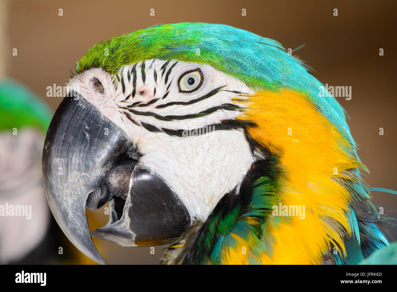 blue-and-yellow macaw (Ara ararauna), Also known as a blue-and-gold macaw. Close-up of face. Eyes Open - Stock Image