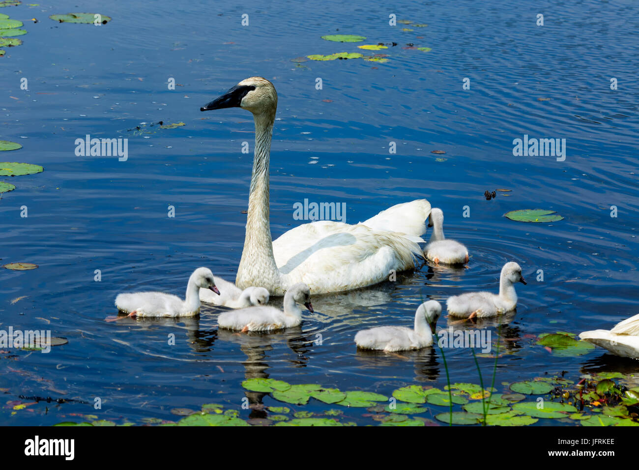 Swan family on lake with lily pads Stock Photo