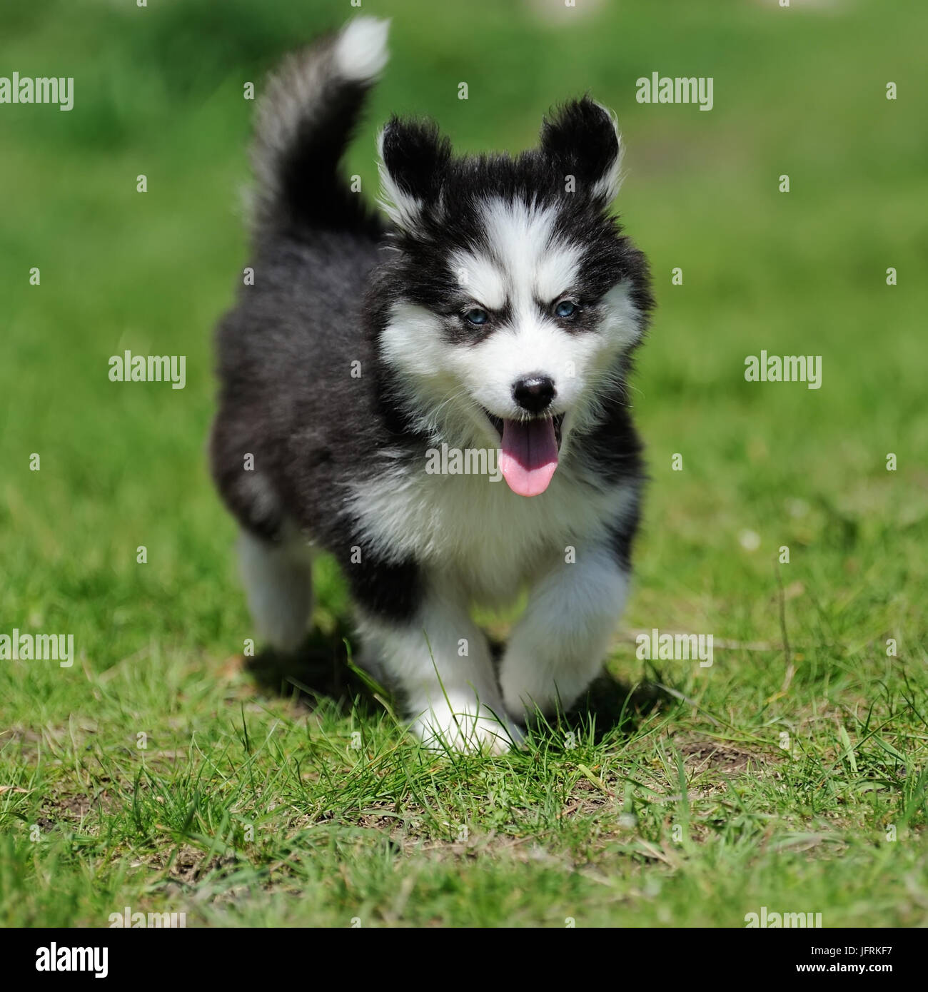 Cute Little Siberian Husky Puppy In Grass Stock Photo 147423003 Alamy