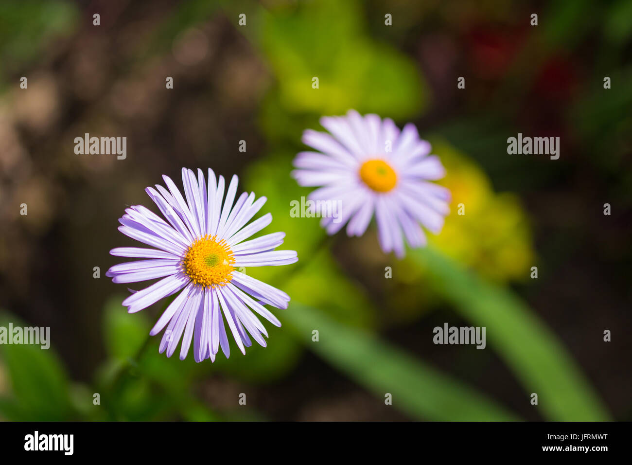 Two Blue Chamomile Flowers In A Garden Light Purple Petals And