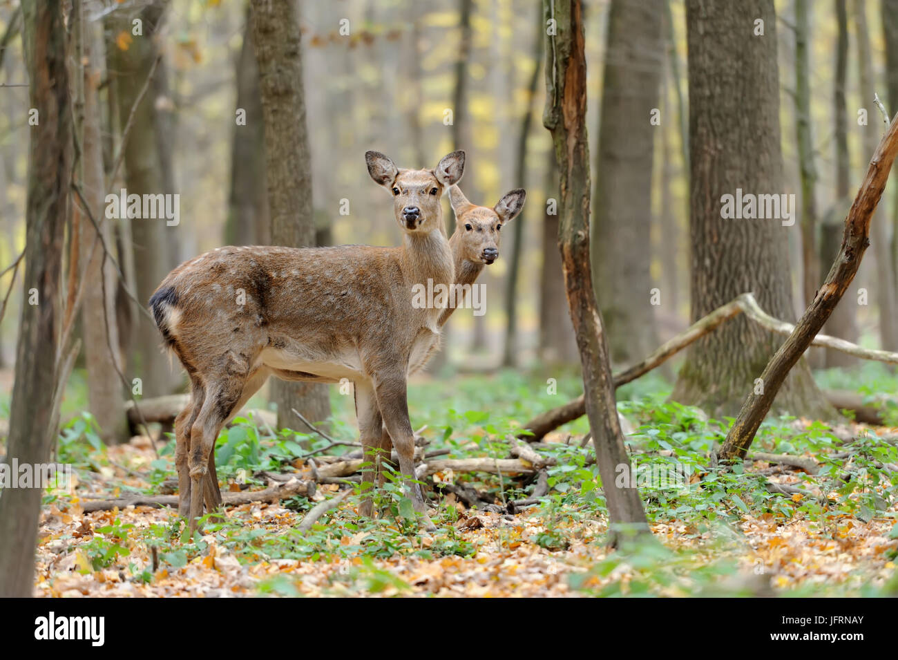 Beautiful young red deer in forest - Stock Image