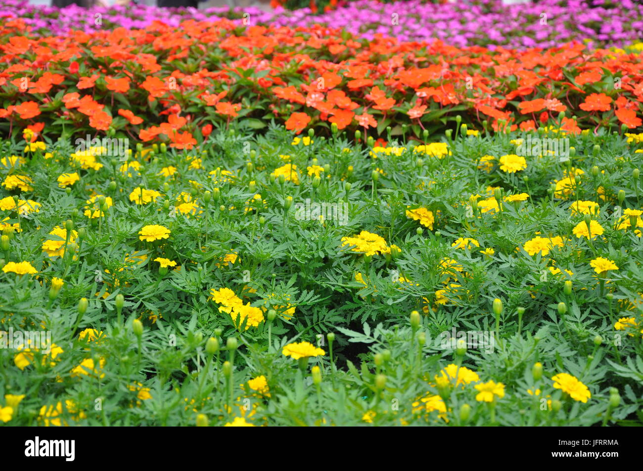 Colorful flower garden as a background, soft image with some flowers in focus - Stock Image