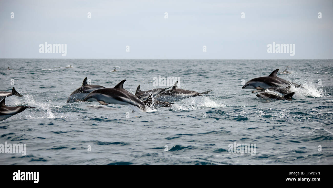 A pod of dusky dolphins, Lagenorhynchus obscurus, leaping through the water off Kaikoura Peninsula, New Zealand - Stock Image