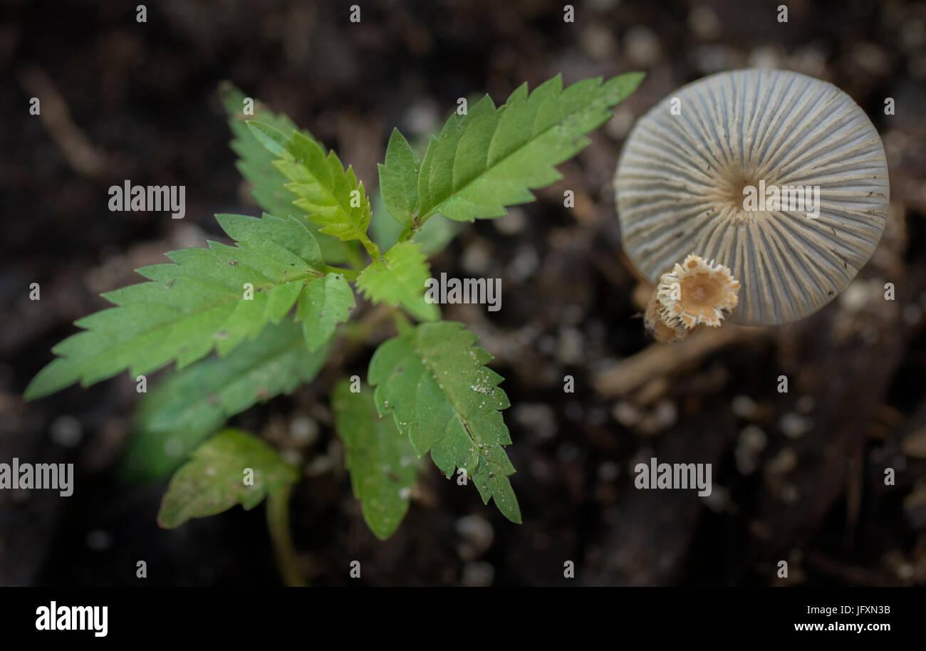 Marasmus mushrooms (Marasmioid Mushrooms). - Stock Image