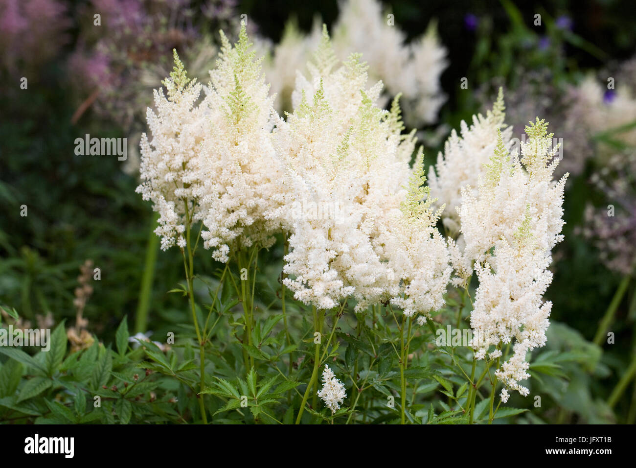 Astilbe 'Weisse Gloria' (x arendsii) flowers. - Stock Image
