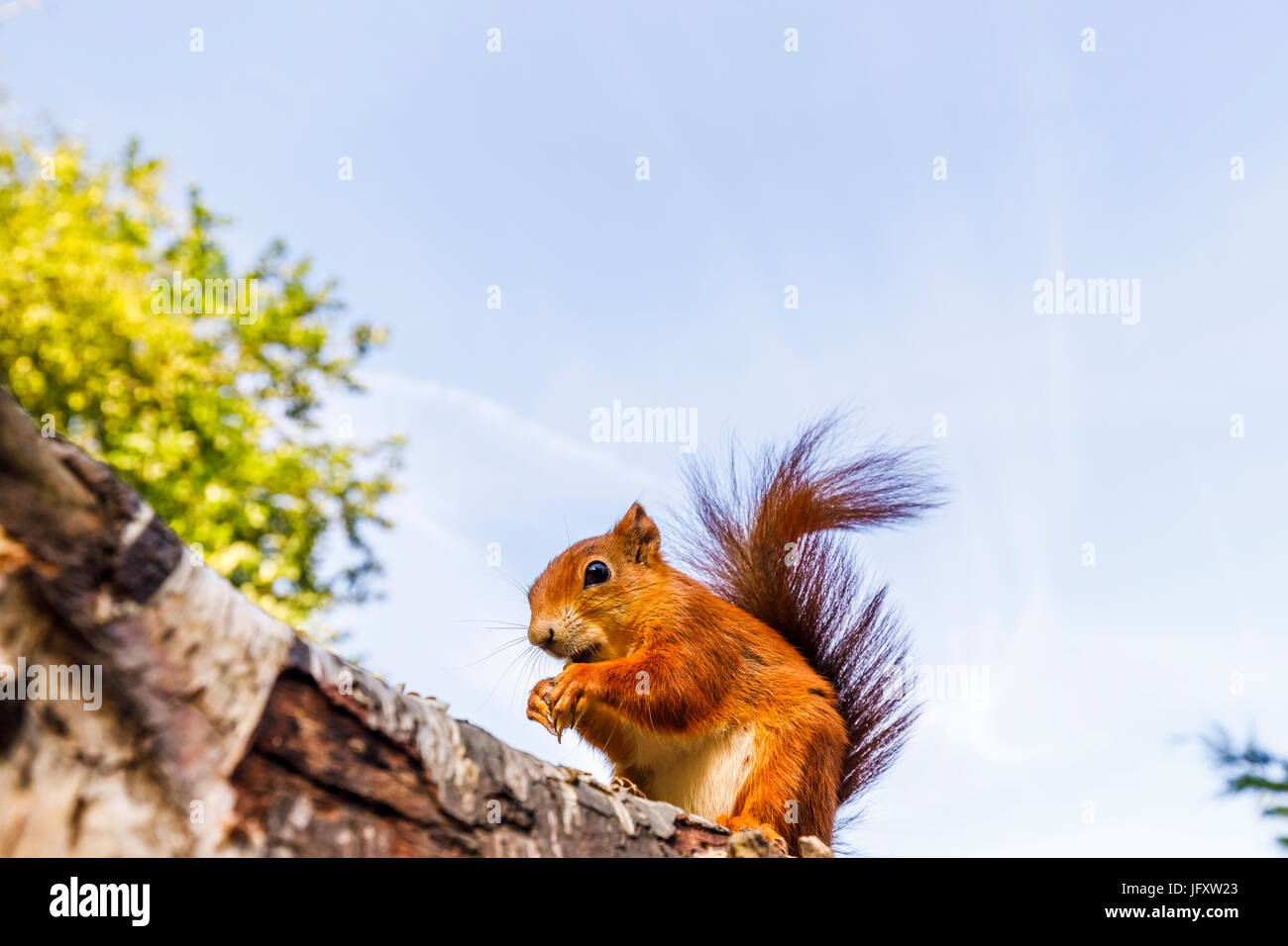 Red Squirrel (Sciurus vulgaris) standing on a log, British Wildlife Centre, Newchapel, Lingfield, Surrey, UK - Stock Image