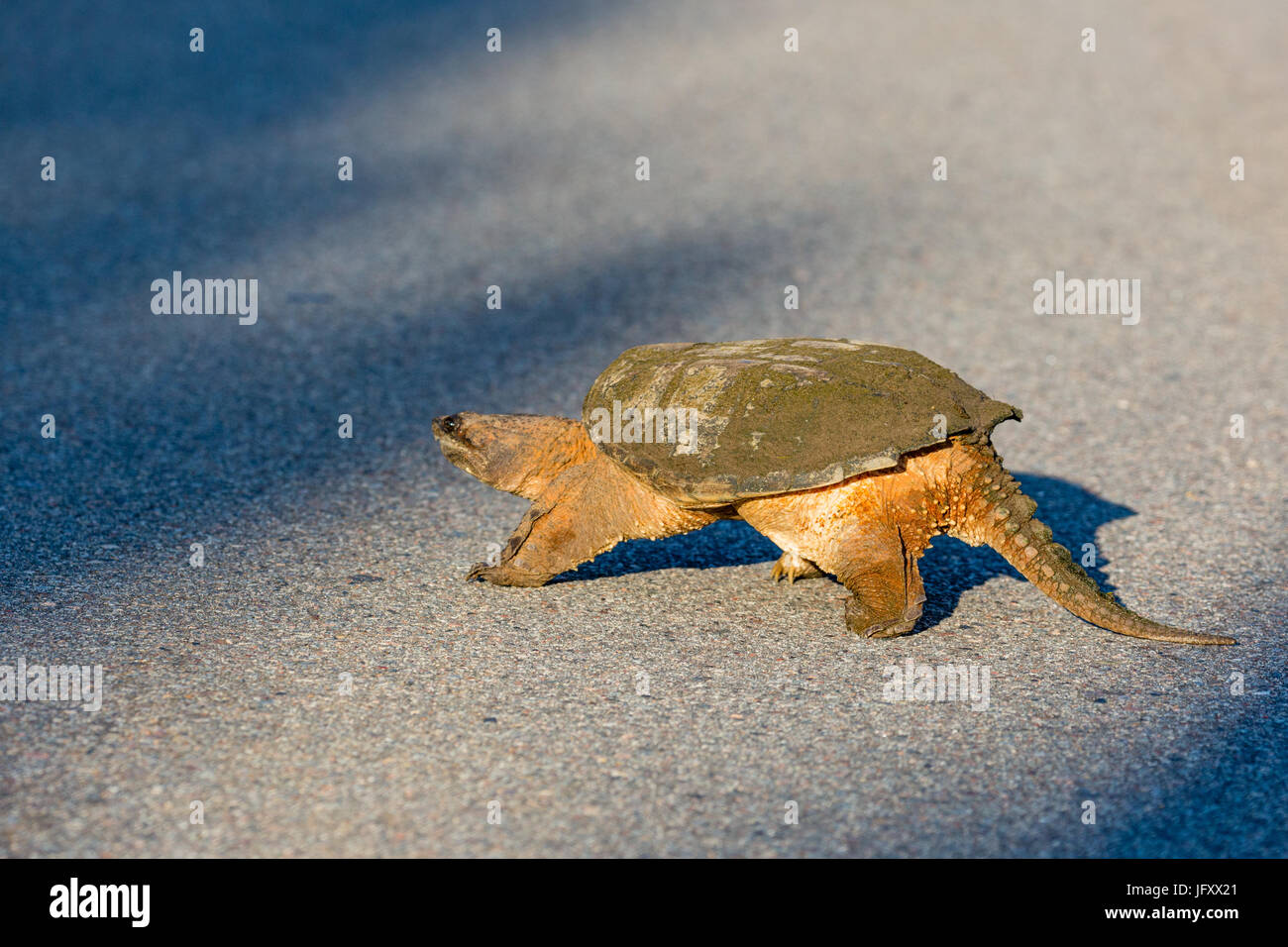 Snapping Turtle (Chelydra serpentina) crossing a blacktop road in Wisconsin during the summer Stock Photo