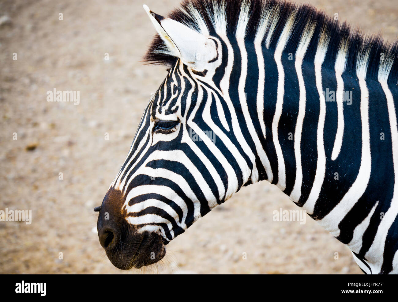 close up side view of zebra face Stock Photo: 147513723 ...