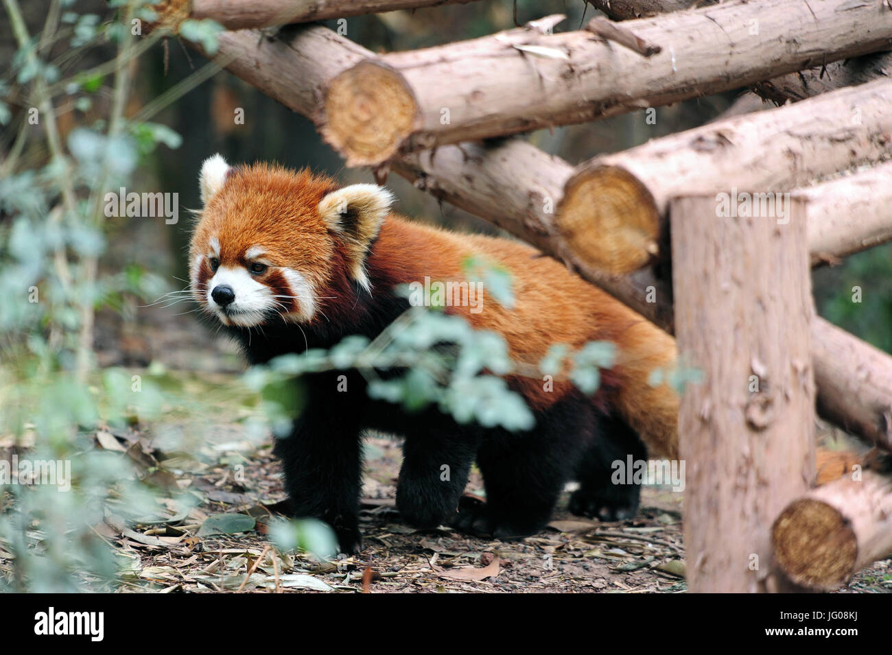 Chengdu, China. 10th Apr, 2017. The red panda (also called lesser panda, and the red bear-cat) is a rare species - Stock Image