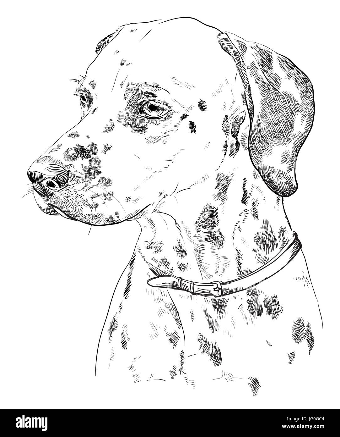 Vector Portrait of dalmatian in black color hand drawing Illustration on white background - Stock Vector