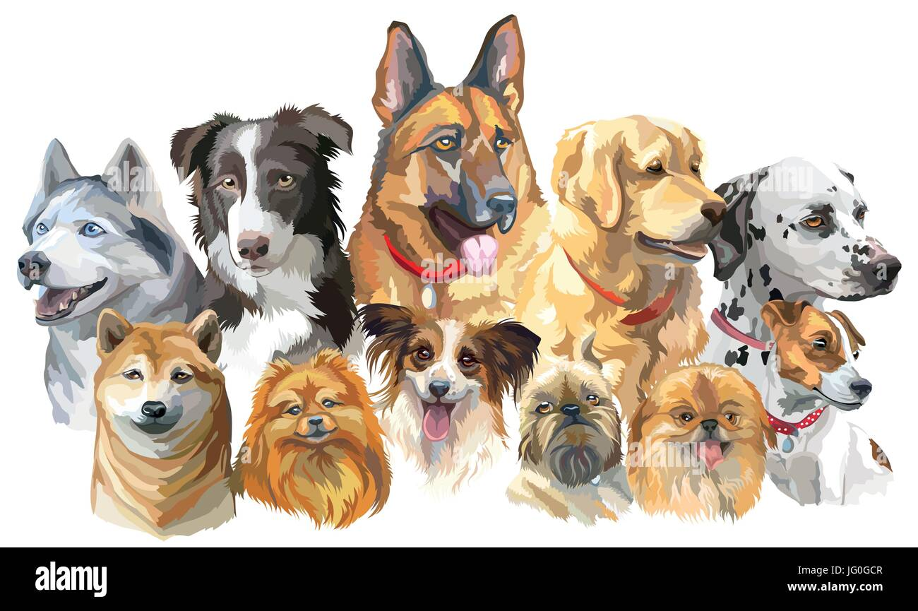 Set of colorful vector portraits of dog breeds (siberian husky, border-collie; german shepherd; shiba Inu; golden - Stock Vector