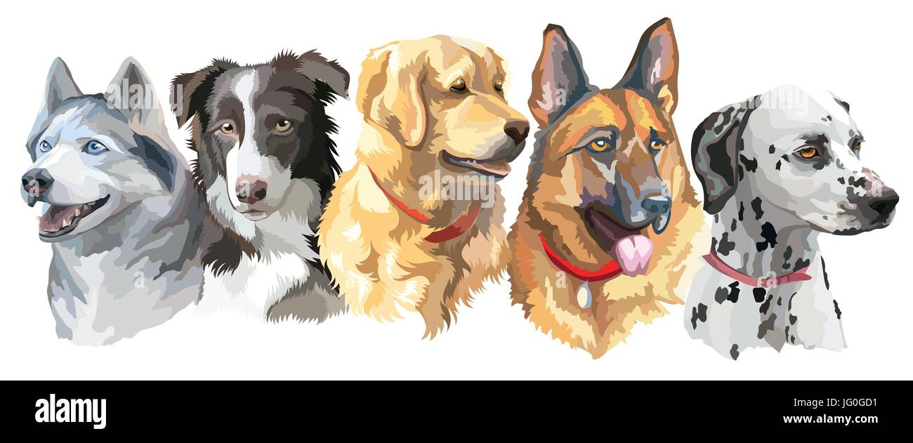 Set of colorful vector portraits of big size dog breeds (siberian husky, border-collie; golden retriever; german - Stock Vector