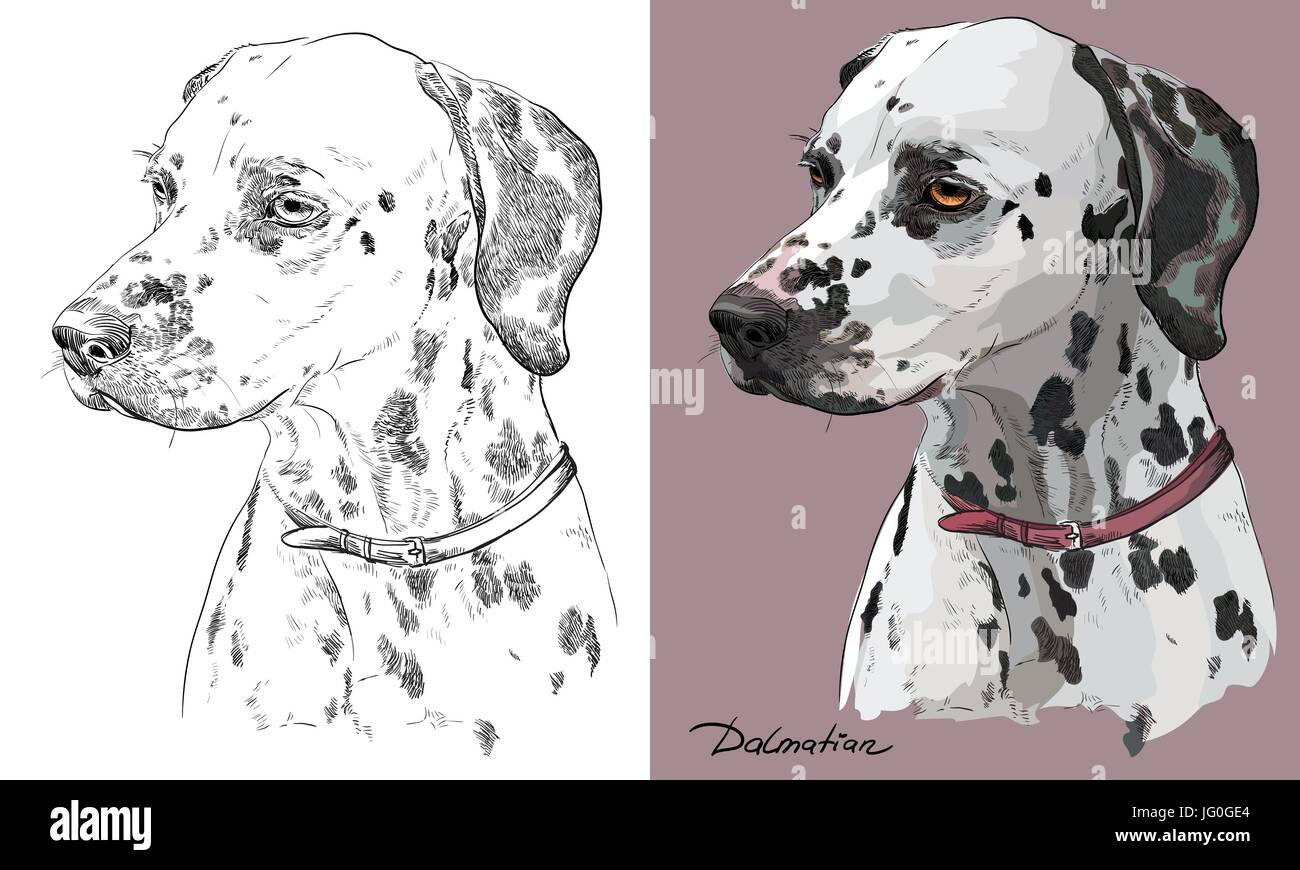 Colored dalmatian dog portrait on pink background and and black color on white background vector hand drawing illustration Stock Vector