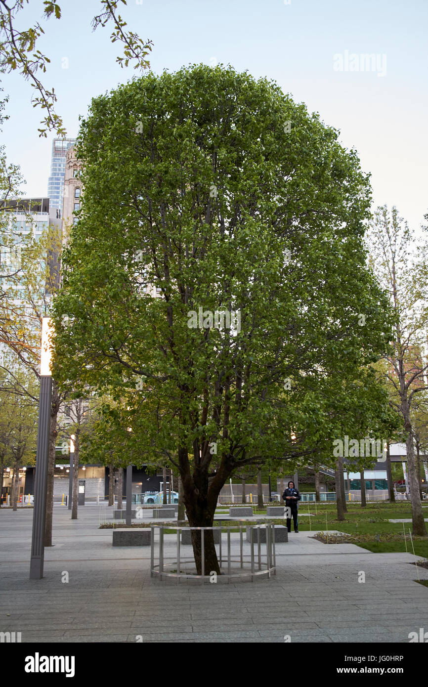 callery pear survivor tree at the national september 11th memorial site world trade center New York City USA - Stock Image