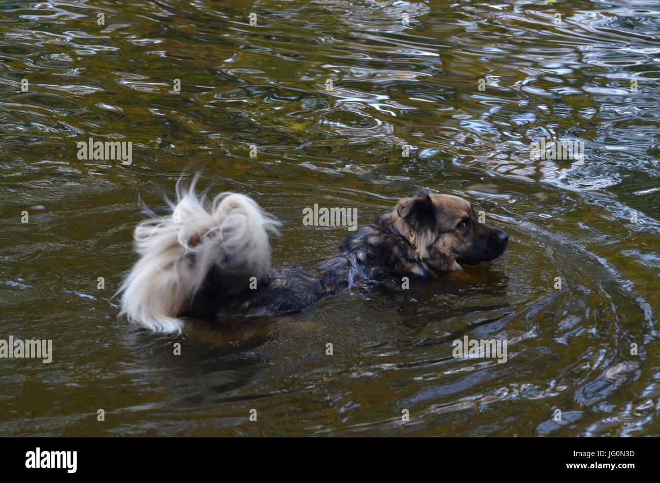 Floating dog in Moewensee in People's Park (Volkspark) Rehberge in Berlin-Wedding from October 31, 2014, Germany - Stock Image