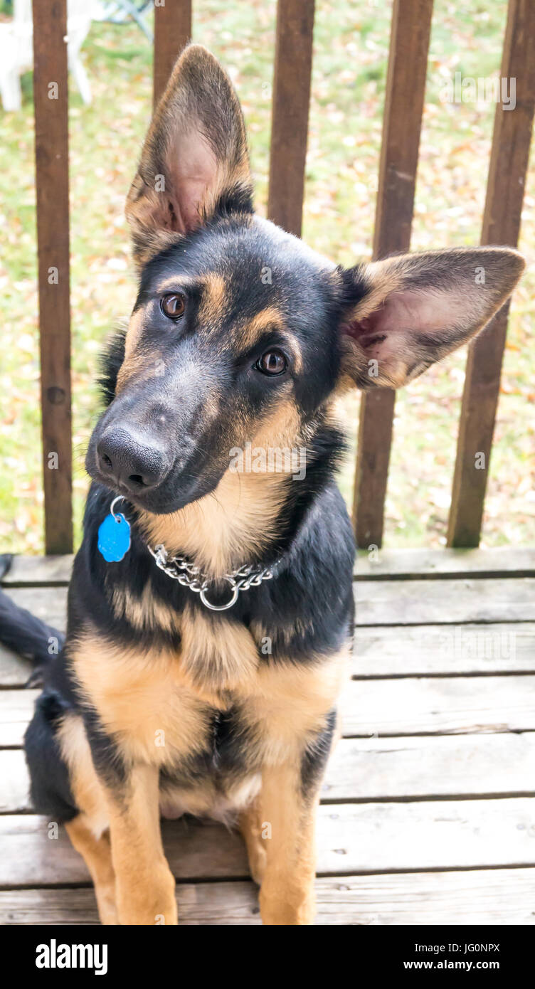 German Shepherd with a mix of collie - Stock Image