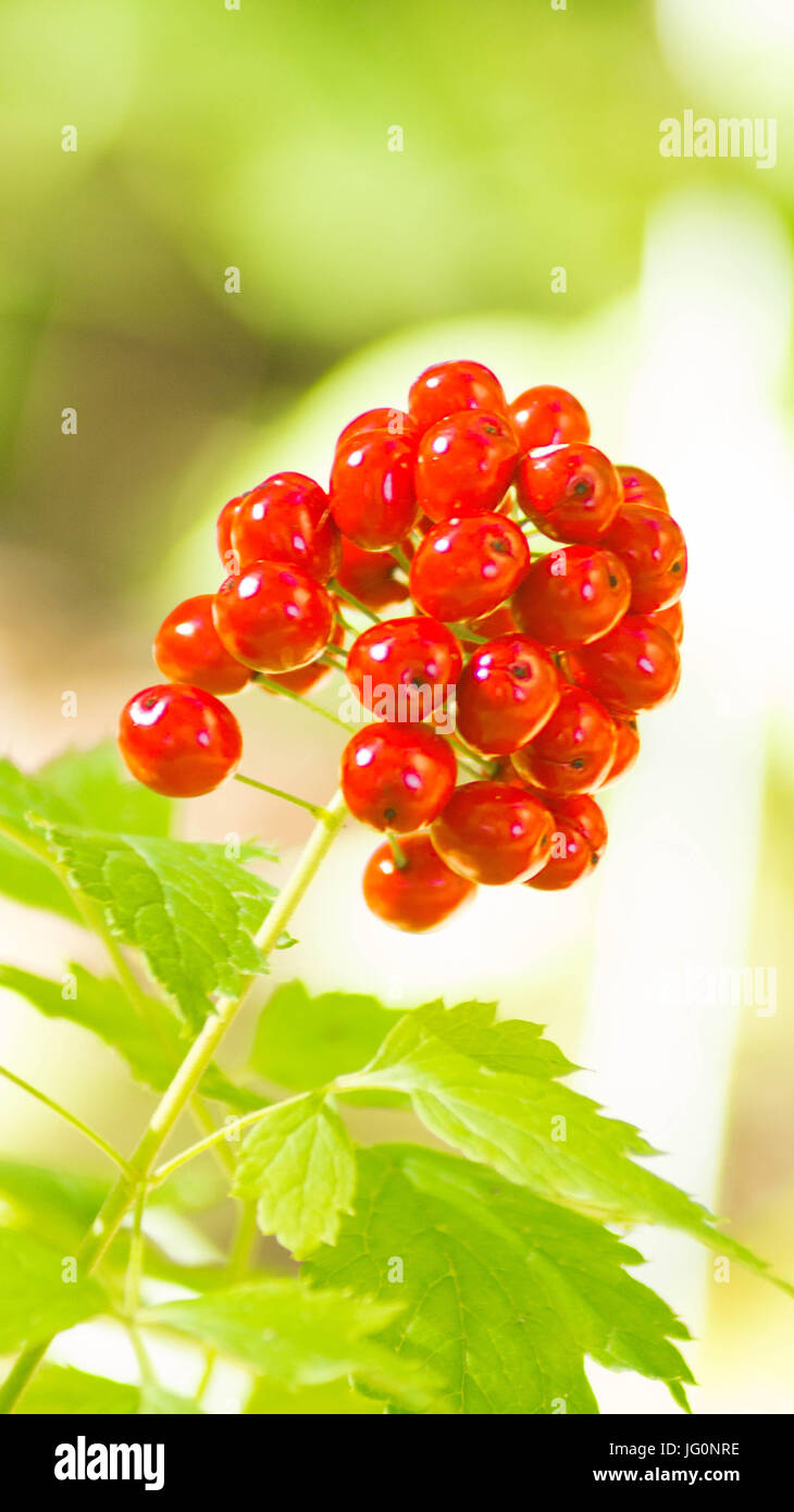 red berries on a background of green and white - Stock Image