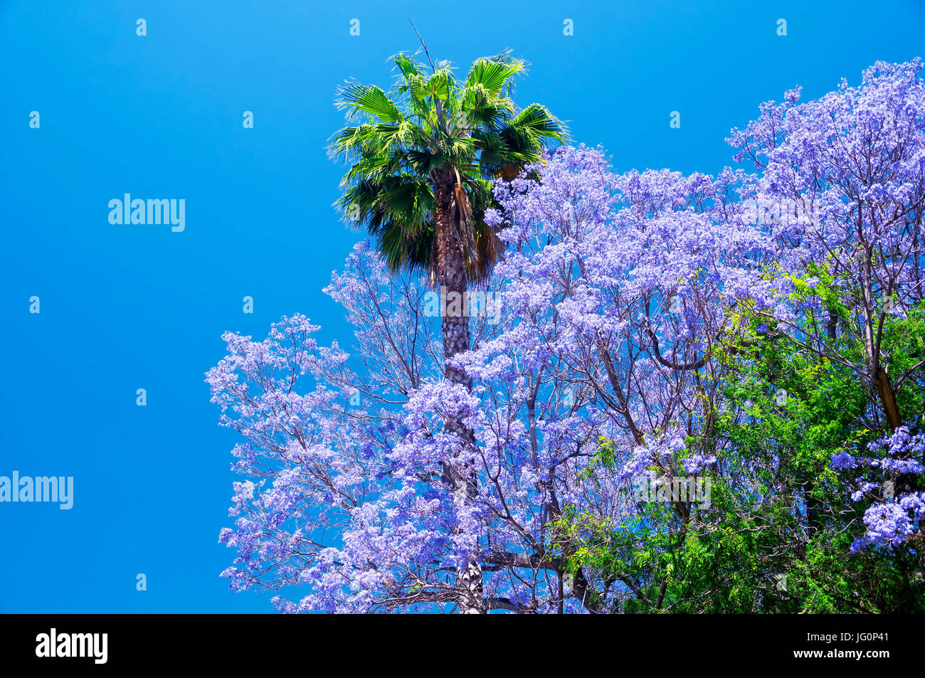 A Palm Tree And Purple Flowering Trees In The Hollywood Area Of Los
