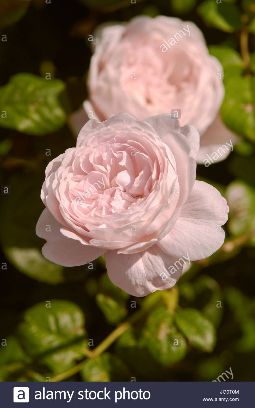 Close up of a Pink Alnwick rose in full bloom in the summer - Stock Image