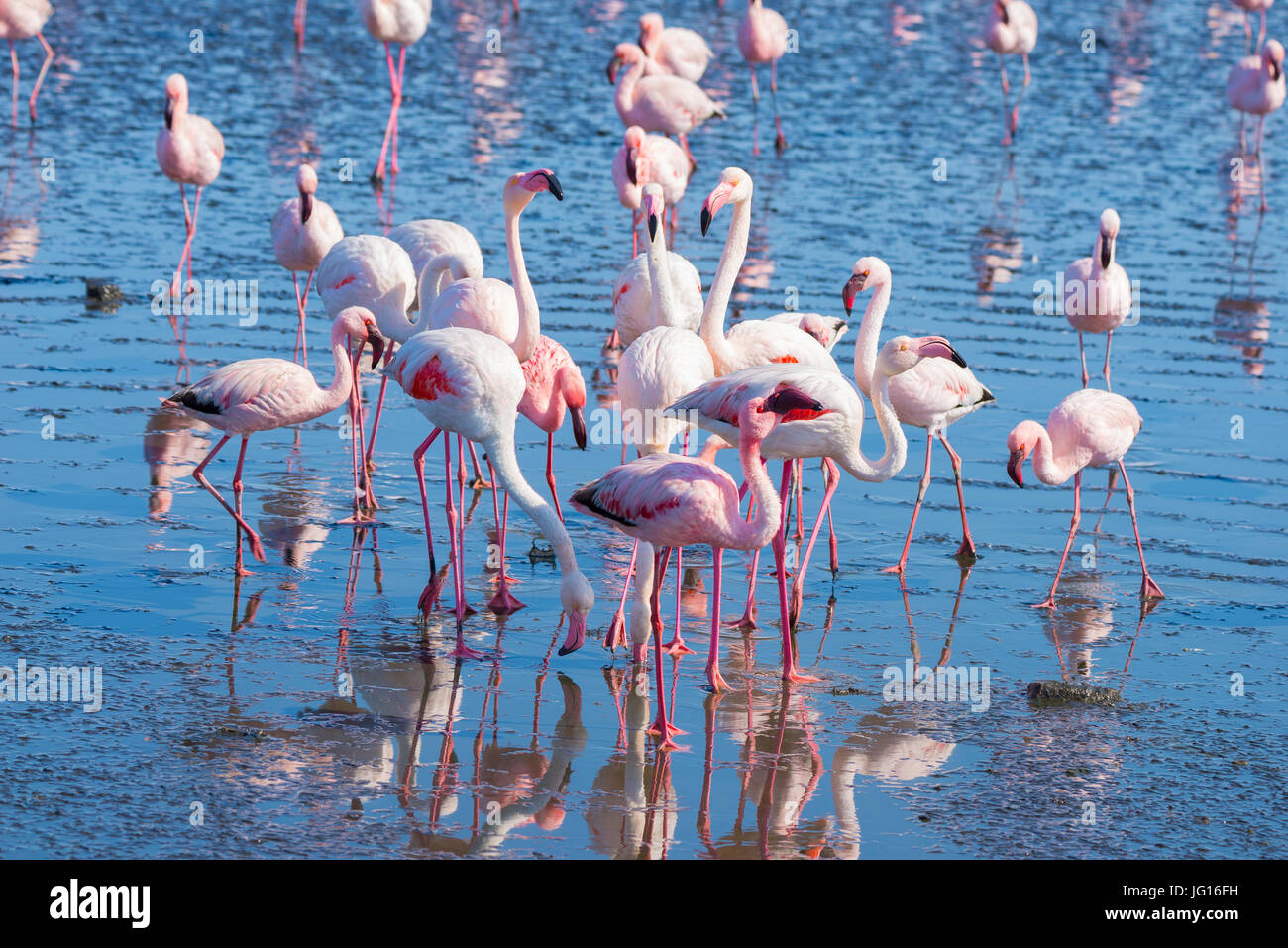 Group of pink flamingos on the sea at Walvis Bay, the atlantic coast of Namibia, Africa. - Stock Image