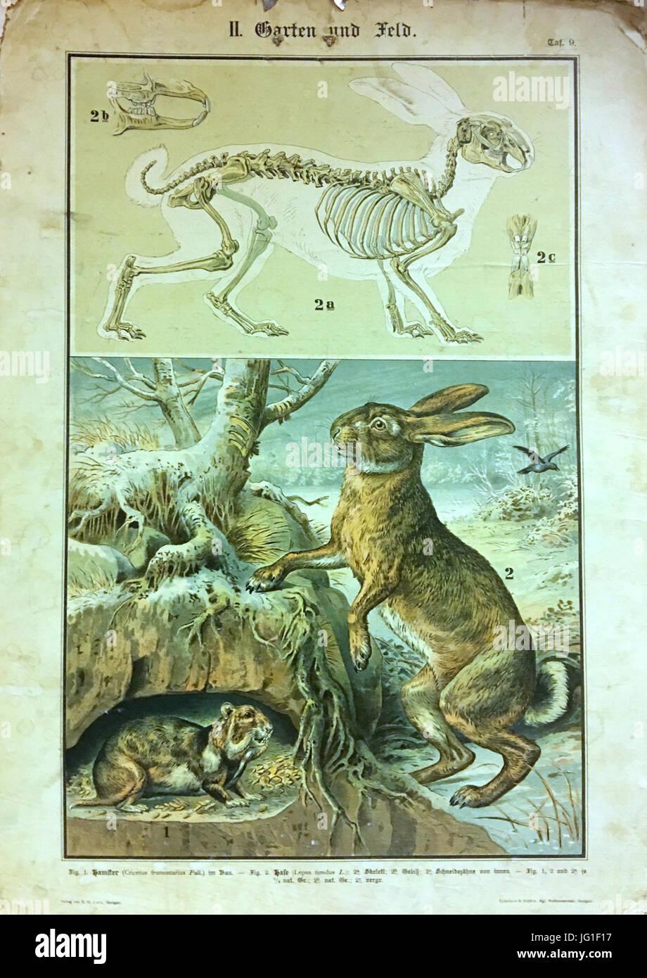 Tua Dua Eettafel.Garten Und Feld Tafel 9 Hamster Cricetus Frumentarius Pall